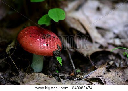 A Red Capped Variety Of Mushroom, Possibly A Emetic Russula, From Missouri.