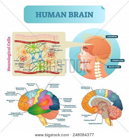 Brain Vector Illustration. Medical Educational Scheme With Neurological Cells Closeup. Silhouette Wi