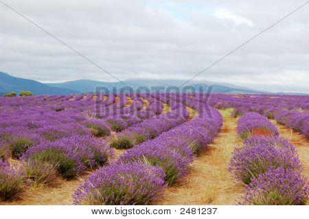 Lavenders In A Field