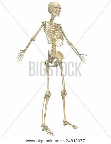 Human Skeleton Anatomy Angled Front View