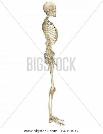 Human Skeleton Anatomy Side View