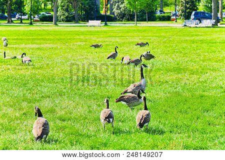 Washington, Usa, Ducks On The Lawn Near The Washington Monument.