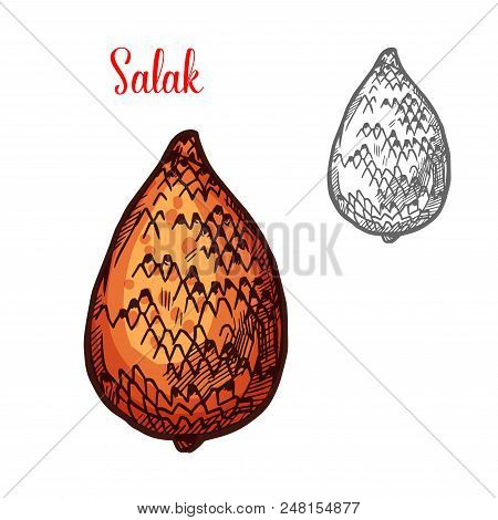 Salak Fruit Of Indonesian Tropical Palm Isolated Sketch. Exotic Snake Fruit With Brown Scaly Peel Fo