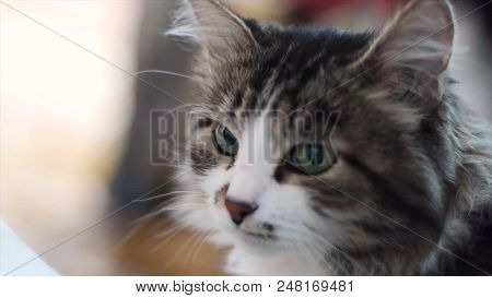 Cat. Portrait Of Beautiful Gray Cat Close Up. Cat With Green Eays, Face Close Up. Portrait Of A Dome