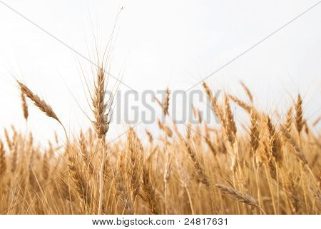Wheat Field With Copy Space