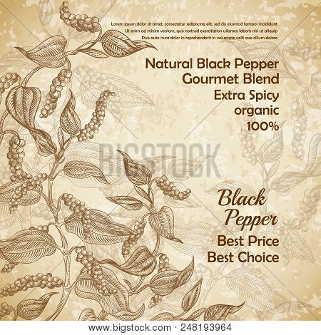 Vector Vintage Illustration Of Black Pepper Plant With Leaves And Peppercorns On Textured Background