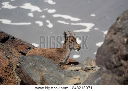 Mountain Goat Behind The Rocks Over Mountain Peak With Snowfields In The Background