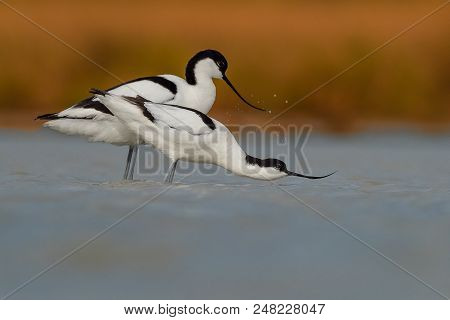Pied Avocet (male And Female) On The Lake Preparing For Copulating.