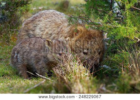 Vombatus Ursinus - Common Wombat In The Tasmanian Scenery