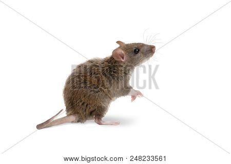 Closeup Young Rat   (rattus Norvegicus) Stands On Its Hind Legs And Looking Up. Isolated On White.
