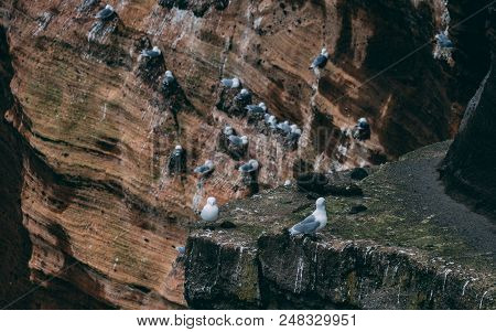 Cliff Covered With Brids In Iceland. West Coast Sea Cliffs Of Snaefellsnes Peninsula Picturesque