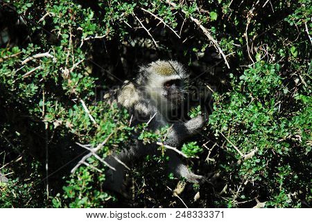 Close Up Of A Wild White Faced Monkey Munching On The Blooms Of A Thorn Bush In The Wilderness Of So