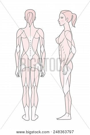 Template. Scheme Of The Musculature Of A Woman. Side And Rear View.  Isolated On White Background.