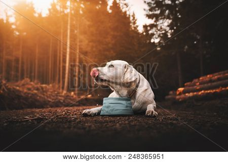young thirsty purebred labrador retriever dog puppy lying down and drinking water out of dog bowl in forest during sunset poster