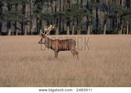 Deer At The Rutting Time