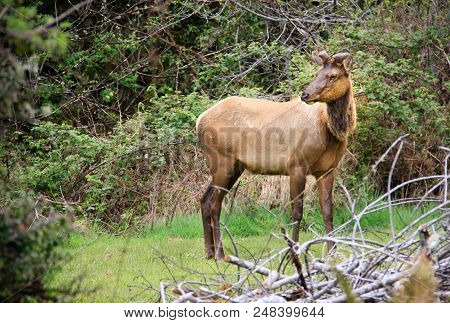 Young Antlered Elk Stepping Out Of A Lush Forest.