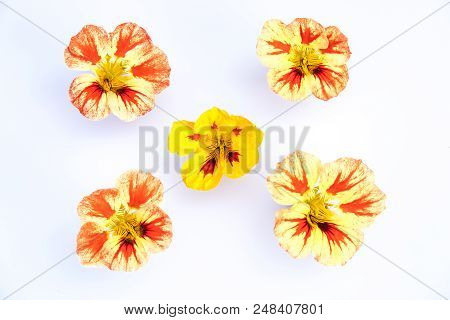 Edible Flowers Isolated On White Background: 5 Yellow, Orange, Red Variegated Nasturtium Blooms - Tr