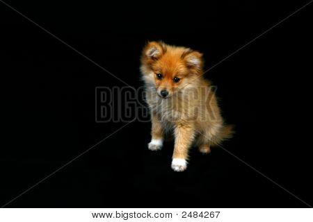 Pomeranian Puppy Looking Very Sad