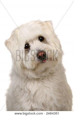 Woeful White Mut Dog With Big Eyes