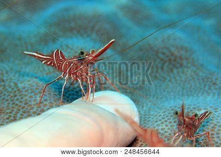 Camel Shrimp (rhynchocinetes Durbanensis, Aka Durban Dancing Shrimp, Hingebeak Prawn, Hinge-beak Shr