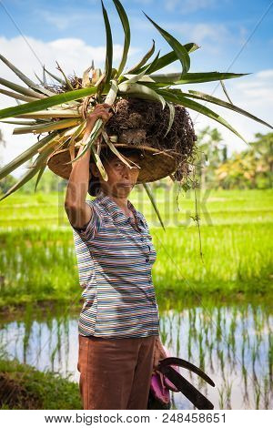 Ubud, Indonesia - February 28: Woman Farmer Carrying Crops On Her Head On The Rice Filends In Ubud,