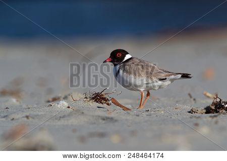 Hooded Plover - Thinornis Cucullatus Small Shorebird - Wader -on The Sandy Beach Of Australia, Tasma