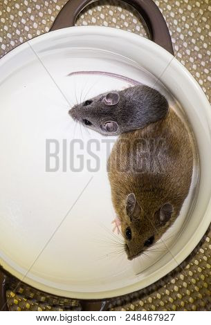 Top view of two house mice, Mus musculus, in a bowl. One of the mice is an adult, the other a juvenile. poster