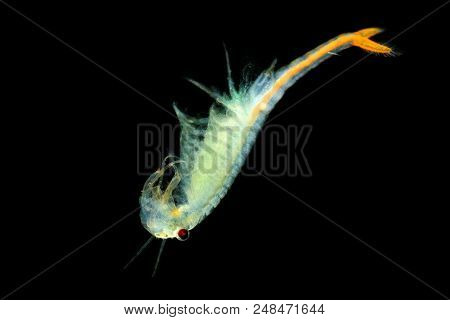 The Male Fairy Shrimp (branchipus Schaefferi) Captured Close Up With Black Background. A Beautiful W