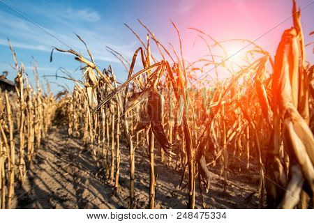 Destroyed Corn Field Due To Dramatic Dry Weather