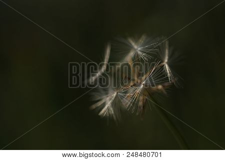 Dandelion Tribe, Seed Head In Green Meadow. Macro, Selective Focus On One Seed In The Foreground. Fr