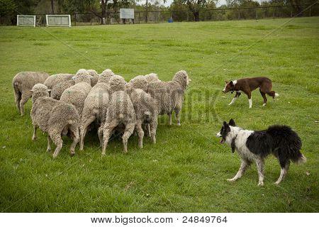 Sheep Herding_01