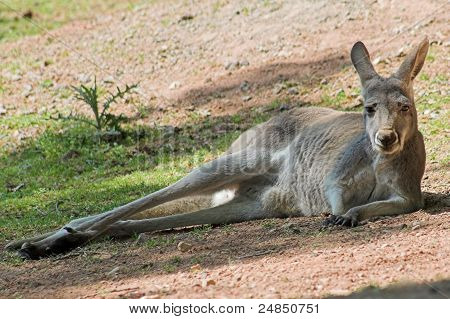 A grey kangaroo lying in the sand poster