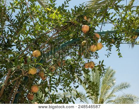 Ripening pomegranate fruits hanging on branch of the tree on background of green leaves, unripe pomegranates poster