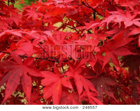 Fall Foliage Closeup