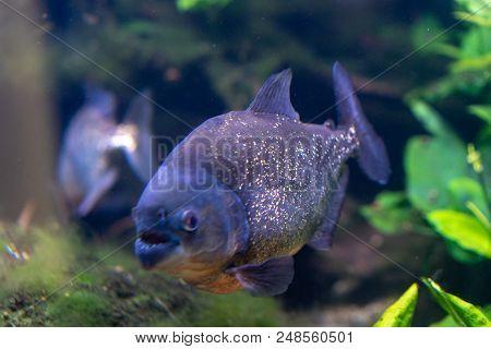 Pygocentrus Nattereri Also Know As Red Bellied Piranham, Amazonian Fish