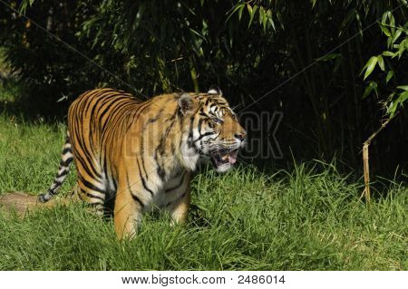 Bengal Tiger On The Prowl