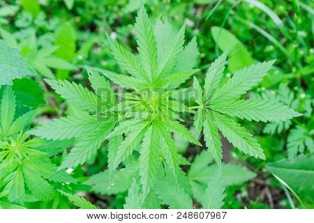 Top View Of The Leaves And Stem On Top Of Young Wild-growing Cannabis Ruderalis