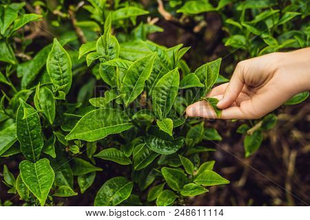 Women Hand finger picking up tea leaves at a tea plantation for product , Natural selected , Fresh tea leaves in tea farm in Cameron Highlands, Malaysia. poster