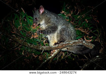 Common Brush-tailed Possum - Trichosurus Vulpecula Is Nocturnal Marsupial Living In Australia And In