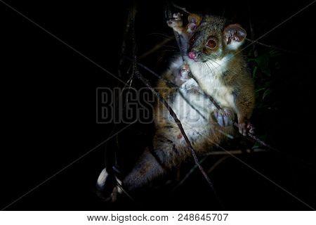 Common Ringtail Possum - Pseudocheirus Peregrinus Is Small Nocturnal Marsupial Living In Australia