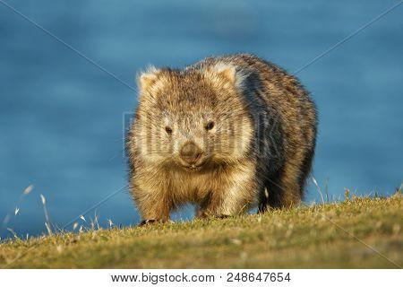 Vombatus Ursinus - Common Wombat In The Tasmanian Scenery, Eating Grass In The Evening On The Island