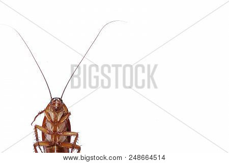 Dead Cockroach Isolated On White Background. Contagion The Disease, Animal,plague,healthy,home Conce