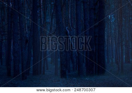 Densely Growing Tall Pine Trees In The Night Forest Behind Which A Mysterious Light Mist Captivates