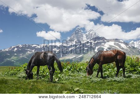 Horses Graze On Green Meadow In The Mountains Against Backdrop Of Mount Ushba In Svaneti, Georgia. H
