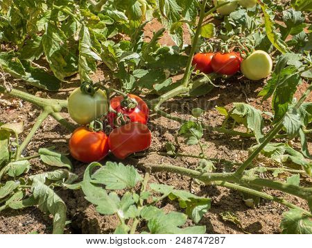 Ripe and ripening red and green tomato fruits growing on the vine, tomato plant with tomatoes lying on the ground poster