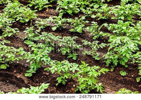 Closeup shot of potato field