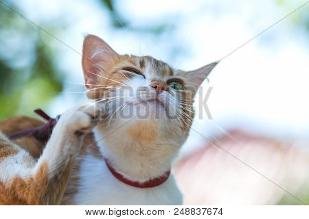 Cute White-red Cat In A Red Collar Scratches The Ear On The Garden Of Green Grass. Beautiful Day, Cl