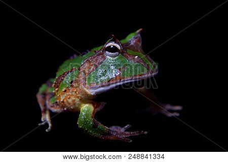 The Amazonian Horned Froglet, Ceratophrys Cornuta, Isolated On Black Background