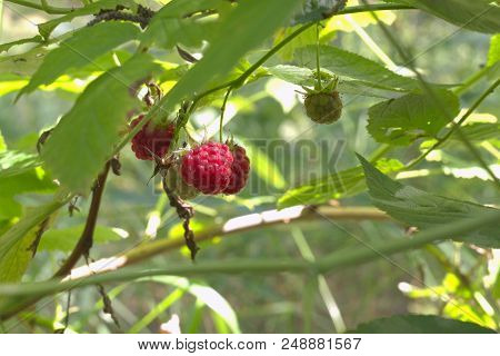 Red Raspberry Fruits, Juicy Ripe And Green On The Same Thin Branch, Hanging Down. Delicies Of Forest