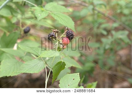 Black Raspberry Infructescence With Torny Stems And Barries In Various Stages Of Development